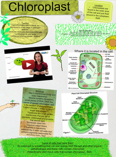 The chloroplast